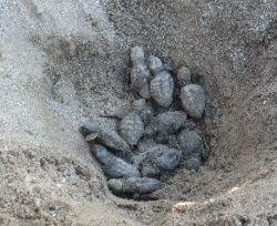 Turtle Nest Excavation